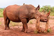 Young white rhinocerous rubs its cheek on a stump, [Secret Location] © David A. Ponton