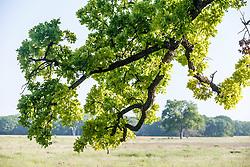 Oak tree branches, near Ennis (south of Dallas), Texas, USA