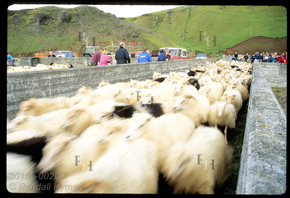Sheep stream through chute to community corral to be separated by farm in fall roundup; Klaustur. Iceland