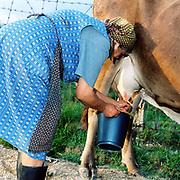 A Romanian peasant farmer hand milking a cow into a plastic blue bucket in the Romanian Carpathians, Romania