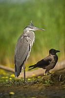 The Grey Heron (Ardea cinerea), and a Hooded Crows (Corvus cornix) in Hortobagy National Park, Hungary