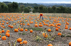 Farmer Charlie Eckley checks his fields of pumpkins at his Pumpkin Moon site in Maidstone, Kent, prior to Halloween celebrations at the end of the month.