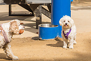 White Dogs Playing at the Playground