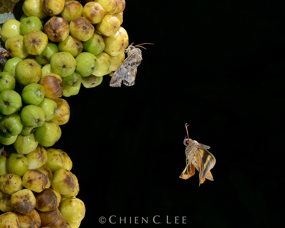 Fruit piercing moths (Eudocima phalonia) converge on a cluster of ripe figs (Ficus fistulosa) to feed on the sweet juice. Many moths in this family have similar feeding habits and can be damaging to commercial fruit crops. Sarawak, Malaysia (Borneo).