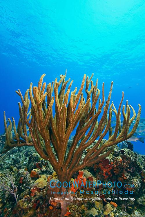 Porous Sea Rods, Pseudoplexaura sp., West End, Grand Bahamas, Atlantic Ocean