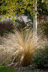 Chionochloa rubra. Red tussock grass