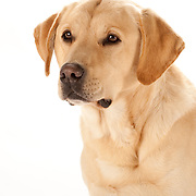 Goldens and Labs/Sporting