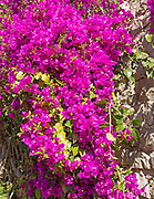 Close up of Bougainvillea plant in flower growing on old wall of ruined castle garden in the town of Tavira, Algarve, Portugal, southern Europe