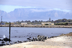African Penguins & Table Mountain