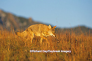 01864-02805 Coyote (Canis latrans) in short grass prairie   CO