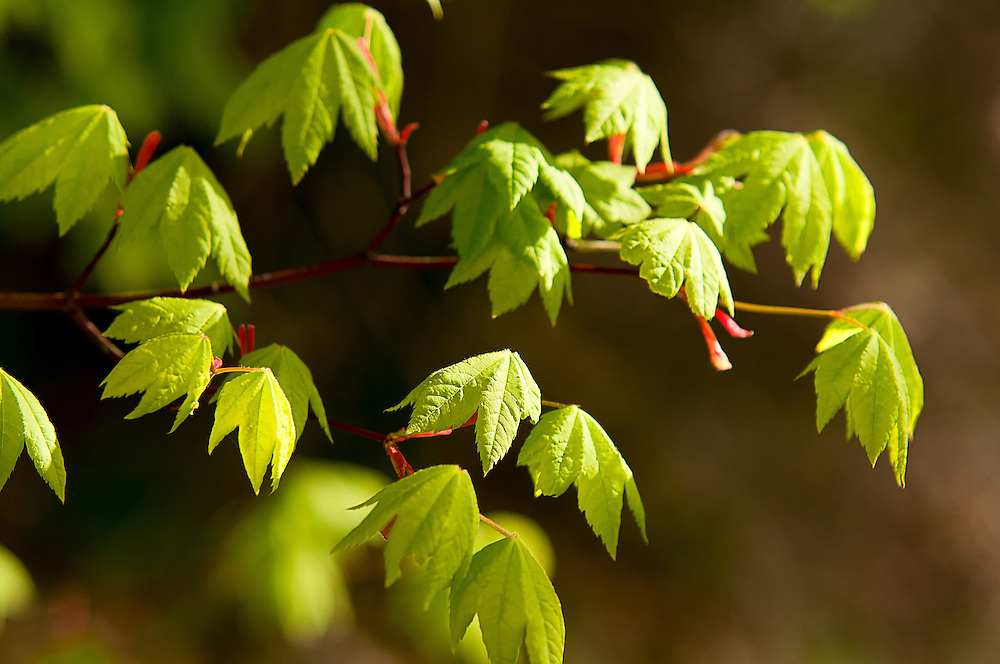 New vine maples leaves in the late afternoon sunlight at the top of the Cascade Mountains in Washington's Snoqualmie Pass.