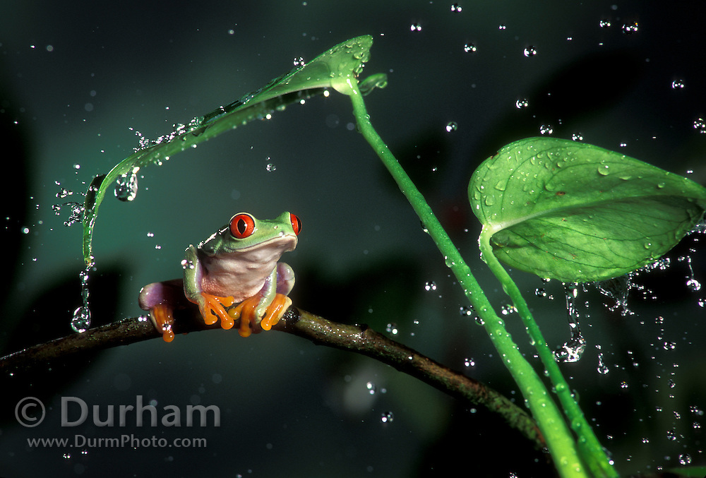 A red-eyed treefrog (Agalychnis callidryas) perched on a tropical plant in the rain. Range: tropical rainforests southern Mexico to Pananma. captive 1999 (In studio)