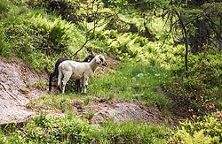 THEMENBILD - zwei Lämmer (schwarz, weiß) in einem Berghang, aufgenommen am 01. Juli 2019, Kaprun, Österreich // two lambs (black, white) in a mountain slope on 2019/07/01, Kaprun, Austria. EXPA Pictures © 2019, PhotoCredit: EXPA/ Stefanie Oberhauser