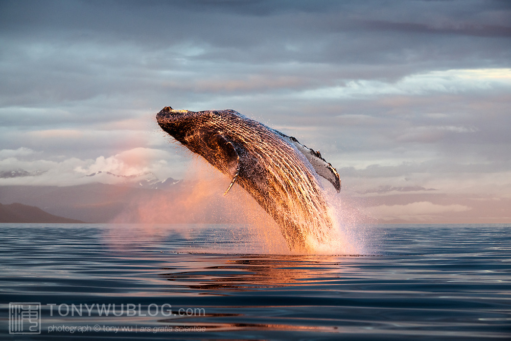 This is a North Pacific humpback whale (Megaptera novaeangliae kuzira) breaching at 9:30PM in Alaska. Warm light from the final minutes of sunlight for the day illuminated the whale and ocean spray in a rainbow of color, reflected in the calm evening water.