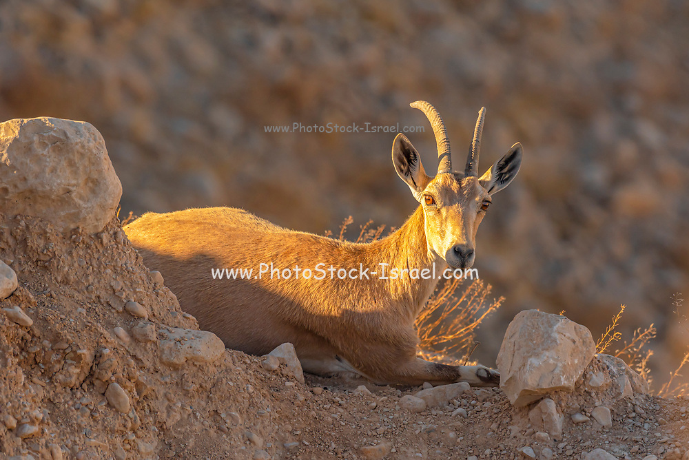 A herd of Ibex (Capra ibex nubiana) wondering in the town. Photographed in the Negev Desert, Israel