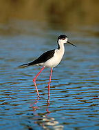 Black-winged Stilt Himantopus himantopus. Spring and early summer are the times when rare waders that breed in Asia turn up here. The Black-winged Stilt Himantopus himantopus is unmistakable with its black and white plumage and ridiculously long, red legs.
