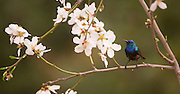 Palestine Sunbird or Northern Orange-tufted Sunbird (Cinnyris oseus) is a small passerine bird of the sunbird family which is found in parts of the Middle East and sub-Saharan Africa. on a hollyhocks (Alcea setosa). photographed in Israel in February