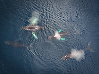Aerial view of family of four hunchback whales in turquoise waters in Alaska, Dutch Harbor, USA.