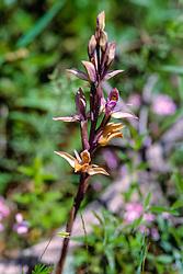 Paarse aspergeorchis, Limodorum abortivum