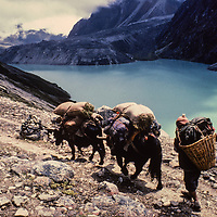 A Sherpa yak herder follows his animals alongside a glacier-fed lake after gathering fodder in high meadows below the Cho La Pass, near Mount Everest in Nepal's Himalaya.