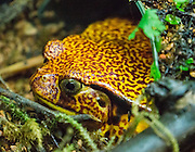 The False Tomato Frog (Dyscophus guineti in the family Microhylidae) is endemic to Madagascar and is threatened by habitat loss. Photographed in the Vancouver Aquarium, 845 Avison Way, Vancouver, British Columbia, V6G 3E2 CANADA.