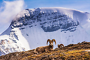 Bighorn rams on Wilcox Ridge under Mount Athabasca, Jasper National Park, Alberta, Canada