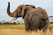 A female elephant  (Loxodonta africana) raising her trunk while scenting the air ,Amboseli, Kenya, Africa