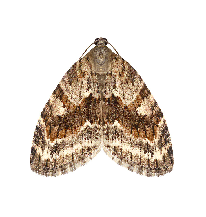 Barred Tooth-striped - Trichopteryx polycommata<br /> 70.201 (1880)