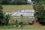 Paddy fields growing rice, Polonnaruwa, North Central Province, Sri Lanka, Asia