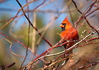 Male Northern Cardinal in the Vines. Backyard Winter Nature in New Jersey. Image taken with a Nikon D2xs camera and 70-200 mm VR lens (ISO 200, 200 mm, f/2.8, 1/1250 sec)
