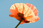 Orange Red Poppy, Papaver rhoeas, Garden, UK