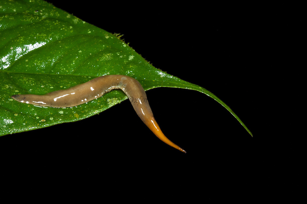 Tropical Flatworm (Planariidae)<br /> Yasuni National Park, Amazon Rainforest<br /> ECUADOR. South America<br /> HABITAT & RANGE: Freshponds and under logs, plants and damp soil in humid areas of the tropics.