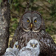 Great Gray Owl, (Strix nebul osa) Portrait of adult and chicks in nest in old growth forest.
