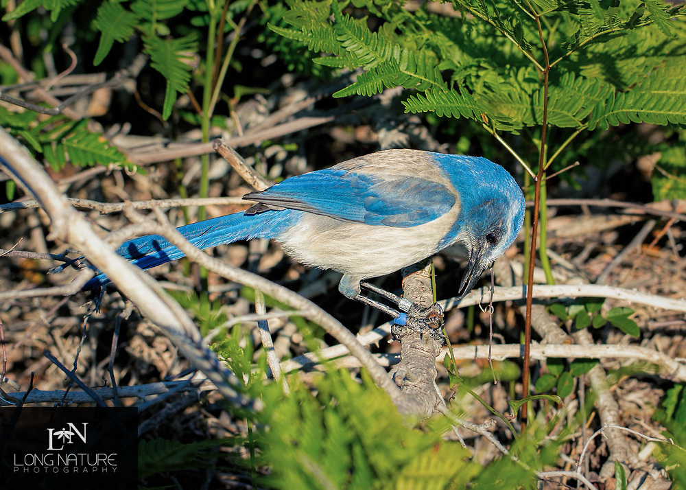 Florida scrub jay (Aphelocoma coerulescens), photographed on Scrub Ridge Trail, Merritt Island National Wildlife Refuge.