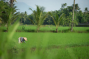 Workers in the rice paddy fields surrounding Borobudur, Kedu Valley, South Central Java, Java, Indonesia, Southeast Asia