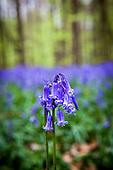 Bluebell season in the Bois de Hal, Belgium