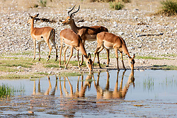 Group of Impala drinking water from waterhole at Etosha National Park, Namibia, Africa