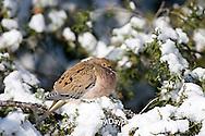 01081-011.11 Mourning Dove (Zenaida macroura) in Keteleeri Juniper (Juniperus keteleeri) in winter, Marion Co. IL