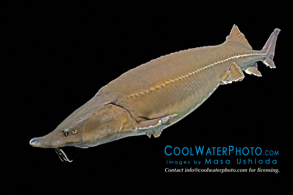 beluga, Huso huso, the largest sturgeon and largest European freshwater fish grows up to 5 m in length, weighs up to 2 tons, and lives up to 120 years. The species is critially endangered as it has been fished for caviar for centuries (c).