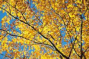 Golden birch leaves against a blue autumn sky, Acadia National Park, Maine.
