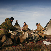 Sept 2009 Yamal Peninsula, Siberia, Russia - global warming impacts story on the Nenet people , reindeer herders in the Yamal Peninsula killing a reindeer for its meat