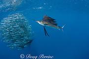 Atlantic sailfish, Istiophorus albicans, attacking bait ball of Spanish sardines (aka gilt sardine, pilchard, or round sardinella ), Sardinella aurita, off Yucatan Peninsula, Mexico ( Caribbean Sea ) (dm)