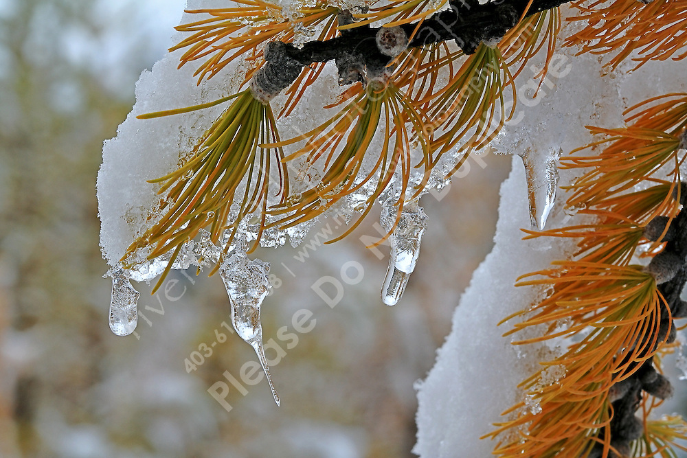 Yellow Needles of a Larch tree in the fall with snow and ice
