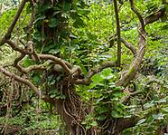 ISLAND TROPICAL FORESTS: HAWAII