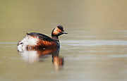 Black necked grebe swimming on a lake