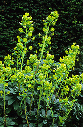 Euphorbia amygdaloides var. robbiae - Spurge robbiae growing in shady conditions at the bottom of a hedge. Spurge