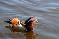 Mandarin Duck in Mosvannet lake, Stavanger, Norway. The Mandarin Duck (Aix galericulata), or just Mandarin, is a medium-sized perching duck, closely related to the North American Wood Duck. It is 41-49 cm long with a 65-75 cm wingspan. The adult male is a striking and unmistakable bird. The species was once widespread in eastern Asia, but the destruction of habitats have reduced the populations. Specimens frequently escape from collections, and may be seen as far north as Scandinavia.
