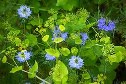 Smyrnium perfoliatum (Perfoliate Alexanders) with Nigella damascena (Love-in-a-mist)