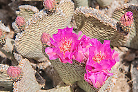 A detailed look from above at a beavertail cactus in Joshua Tree National Park. This photograph was taken  in early April just after the spring rains when the plants of the desert burst into color and blossom.