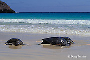 East Pacific green sea turtles or black sea turtles, Chelonia mydas agassizi, females resting on beach ( basking ) to escape males in water, Floreana, Galapagos Islands, Ecuador, ( Eastern Pacific )